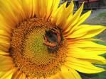 Čas slunečnic
