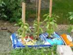 Tak se pěstuje paprika